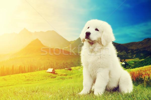 Cute белый щенков собака сидят гор Сток-фото © photocreo