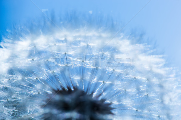 Close-up of dandelion, blue sky. Spring background Stock photo © photocreo