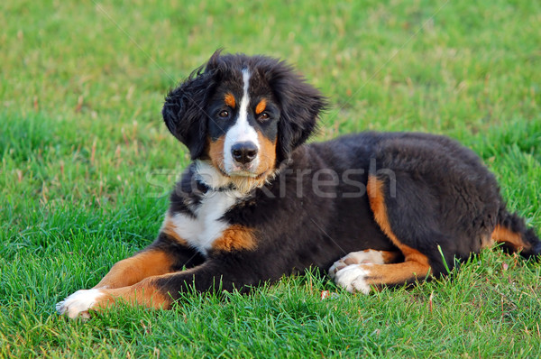 Retrato cachorro bernese mountain dog naturalismo cenário cão Foto stock © photocreo