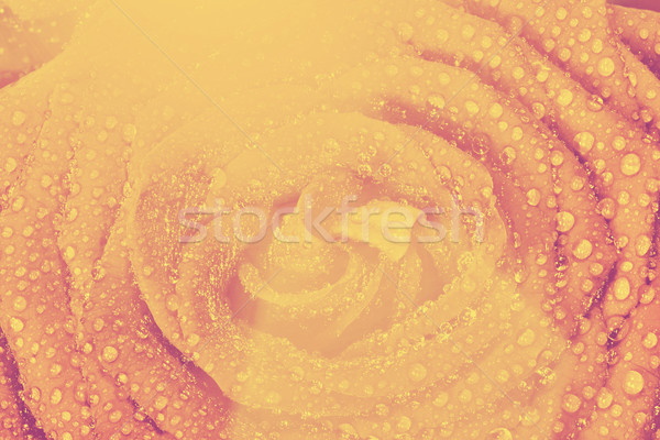 Rouge humide rose fleur vintage Photo stock © photocreo