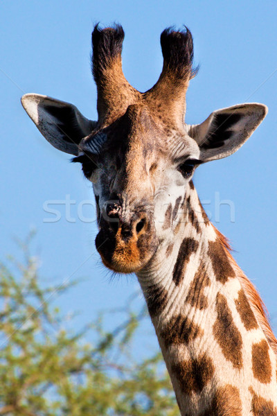 жираф портрет Safari Серенгети Танзания Сток-фото © photocreo
