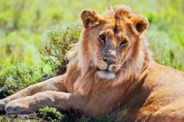 Mannelijke leeuw savanne safari serengeti Stockfoto © photocreo