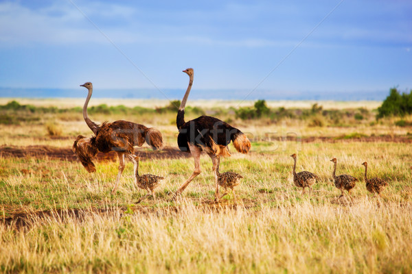 Ostrich family on savanna, Amboseli, Kenya Stock photo © photocreo