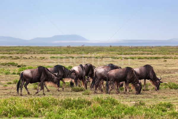 Turma african savana safari serengeti Tanzania Imagine de stoc © photocreo