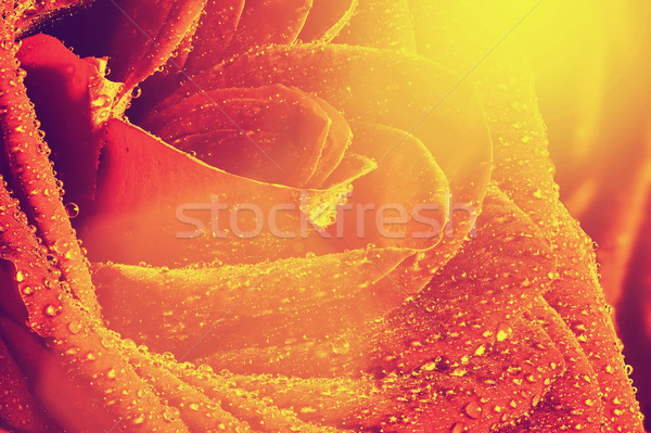 Red wet rose flower close-up. Vintage style with sun flare Stock photo © photocreo