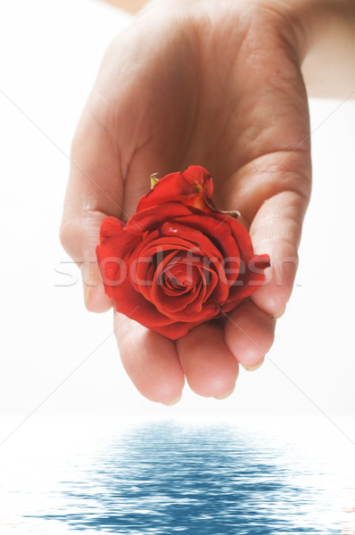 Red rose in palm and water Stock photo © photocreo