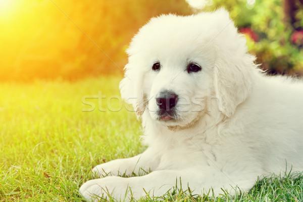 Stockfoto: Cute · witte · puppy · hond · gras · herdershond