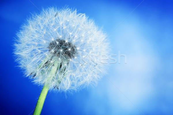 Stockfoto: Paardebloem · blauwe · hemel · voorjaar · natuur · zomer