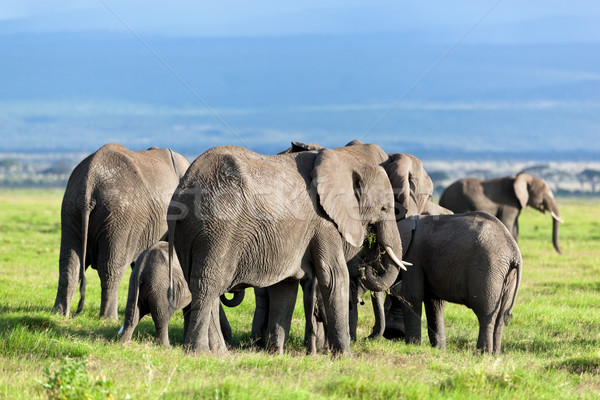 Elephants herd on savanna. Safari in Amboseli, Kenya, Africa Stock photo © photocreo