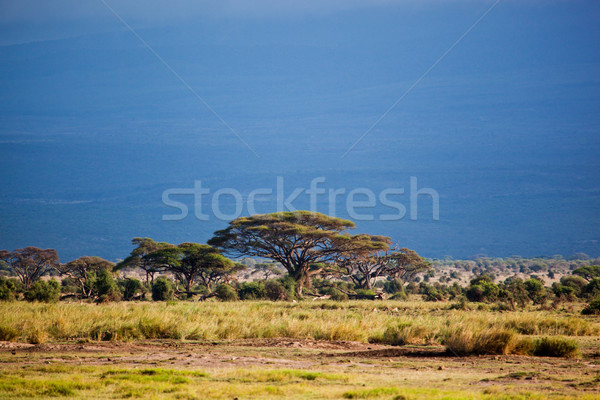 サバンナ 風景 アフリカ ケニア 足 キリマンジャロ ストックフォト © photocreo