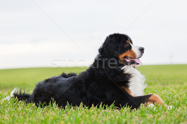 Bernese Mountain Dog lying on grass. Adult, purebred. Stock photo © photocreo