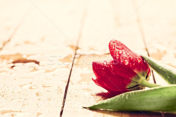 świeże czerwony tulipan kwiat drewna mokro Zdjęcia stock © photocreo