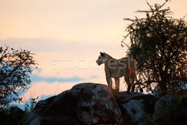Női oroszlán naplemente Serengeti Tanzánia kövek Stock fotó © photocreo