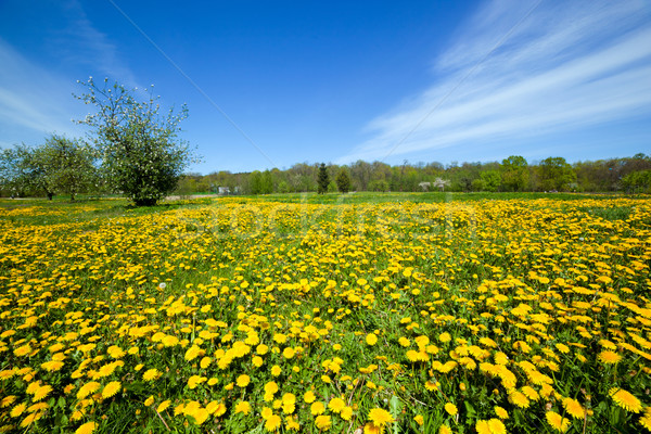Spring meadow full of dandelions flowers and green grass. Stock photo © photocreo