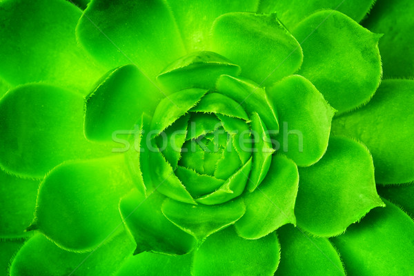 Green flower unfolding, opening with symmetrical petals pattern. Stock photo © photocreo