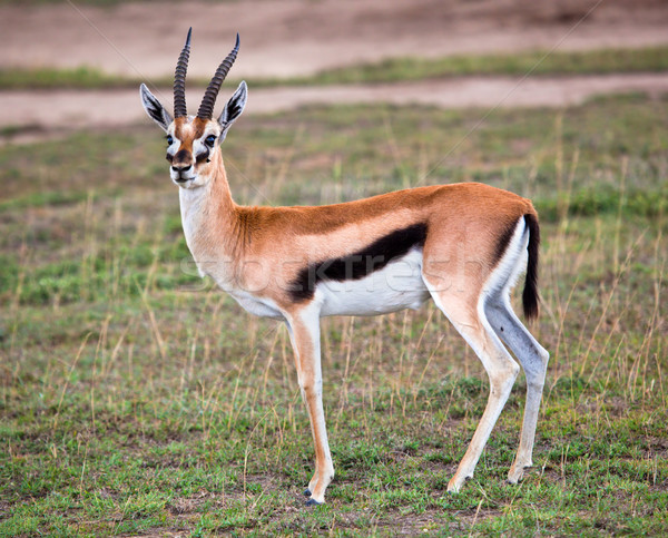 Stock photo: Thomson's gazelle on savanna in Africa