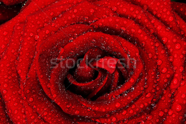 Red wet rose flower close-up. Greeting card or background for Valentines day, wedding. Stock photo © photocreo