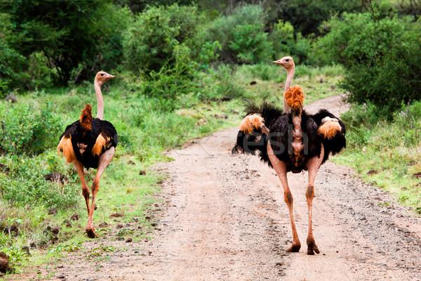 2 ダチョウ 道路 茂み 西 ケニア ストックフォト © photocreo