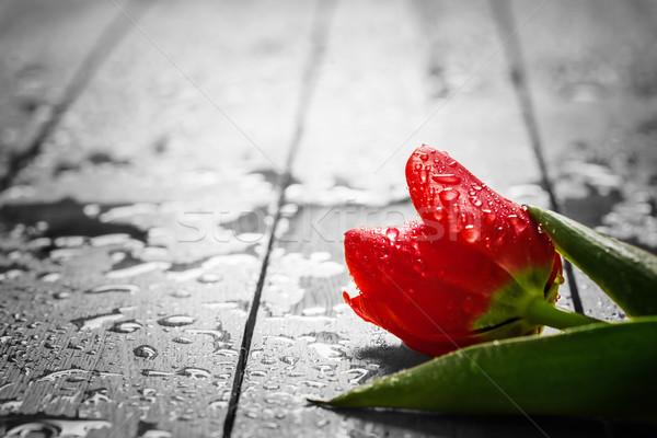 Fresh red tulip flower on wood. Wet, morning spring dew.  Stock photo © photocreo