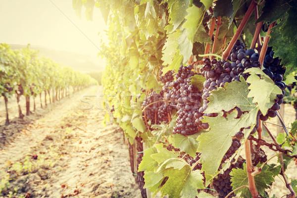 ワイン ブドウ ブドウ トスカーナ 畑 ストックフォト © photocreo