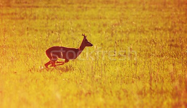 Animal background. Roe-deer Stock photo © photocreo