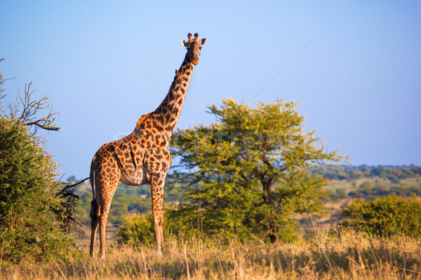 Giraffe on savanna. Safari in Serengeti, Tanzania, Africa Stock photo © photocreo