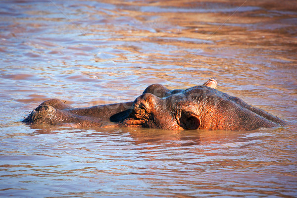 Hippopotame rivière serengeti Tanzanie Afrique Photo stock © photocreo