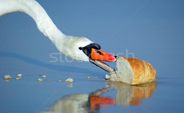 Beautiful swan eating bread Stock photo © photocreo