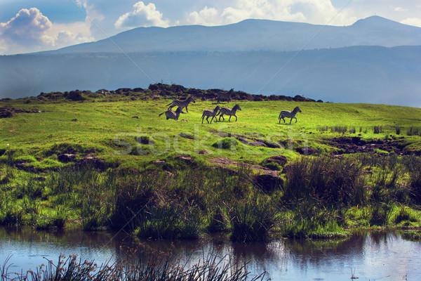 Zebrák zöld füves domb Tanzánia Afrika Stock fotó © photocreo