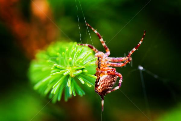 Stock photo: European garden spider called cross spider. Araneus diadematus species