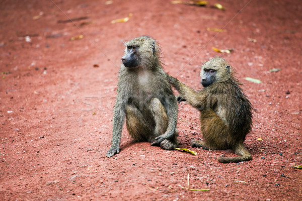 бабуин Обезьяны африканских Буш два озеро Сток-фото © photocreo