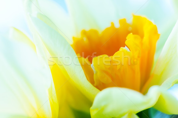 Macro image of spring flower, jonquil, daffodil. Stock photo © photocreo