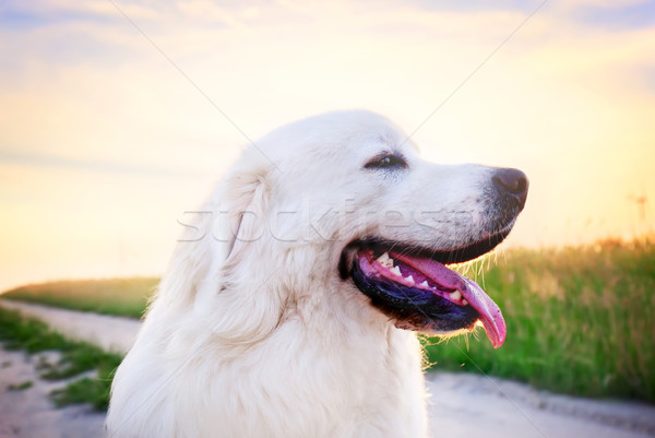Dog on the field. Polish Tatra Sheepdog, young adult. Podhalan Stock photo © photocreo