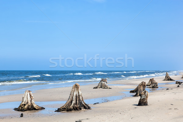 3000 years old tree trunks on the beach after storm. Slowinski National Park, Baltic sea, Poland Stock photo © photocreo