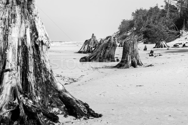 ストックフォト: 年 · 古い · ツリー · トランクス · ビーチ · 嵐