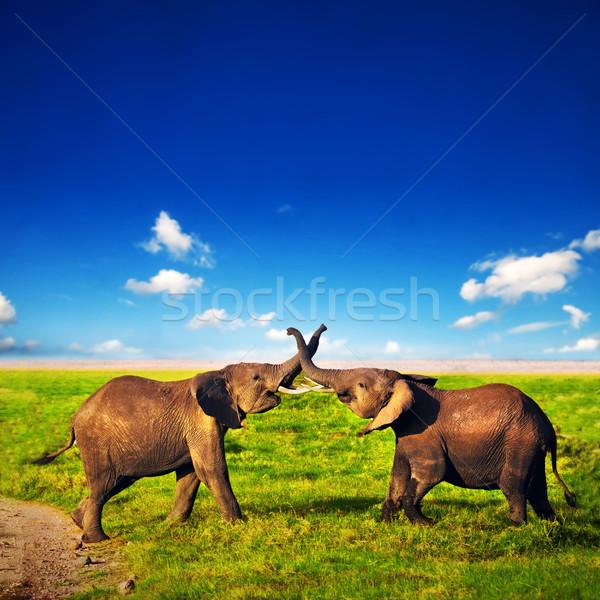 Elephants playing on savanna. Safari in Amboseli, Kenya, Africa Stock photo © photocreo
