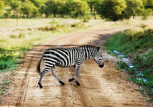 Zebra sétál út afrikai szavanna Afrika Stock fotó © photocreo