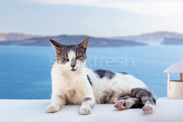 Cat lying on stone wall in Oia town, Santorini, Greece. Aegean sea  Stock photo © photocreo