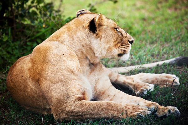 Női oroszlán Serengeti Tanzánia szavanna Afrika Stock fotó © photocreo