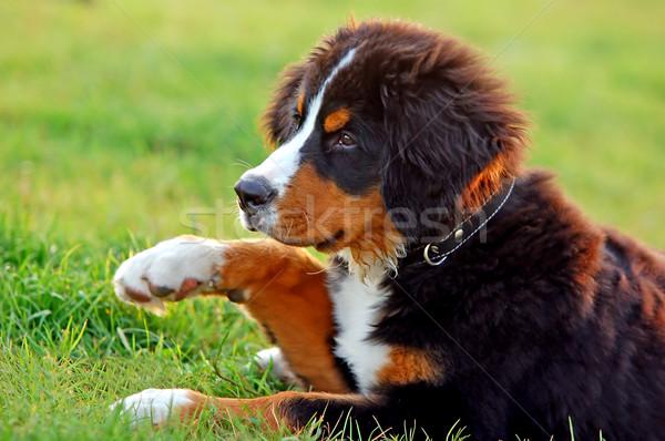 Portret szczeniak berneński pies pasterski naturalnych dekoracje psa Zdjęcia stock © photocreo
