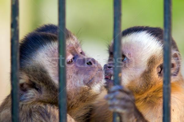 Mono especies detrás bares cautiverio familia Foto stock © photocreo