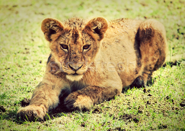 A small lion cub portrait. Tanzania, Africa Stock photo © photocreo