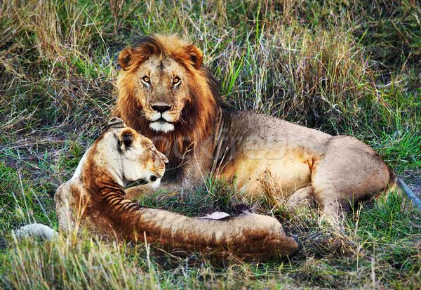 Férfi oroszlán női szafari Serengeti Tanzánia Stock fotó © photocreo
