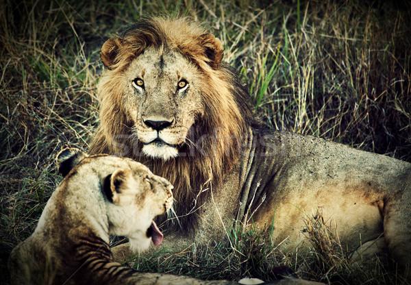 мужчины лев женщины Safari Серенгети Танзания Сток-фото © photocreo