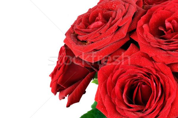 Kırmızı ıslak güller çiçekler yalıtılmış beyaz Stok fotoğraf © photocreo