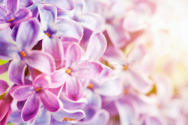 Purple spring lilac flowers blooming close-up. Stock photo © photocreo