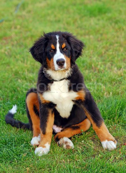 Retrato cachorro boyero de berna naturales paisaje perro Foto stock © photocreo