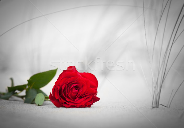Rose Red playa color blanco negro amor romance Foto stock © photocreo