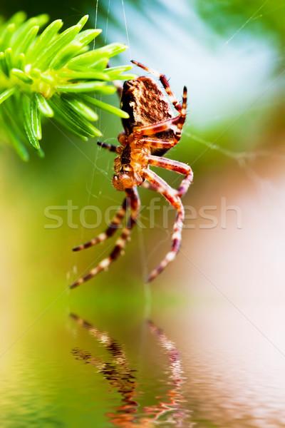 Europese tuin spin kruis soorten Stockfoto © photocreo