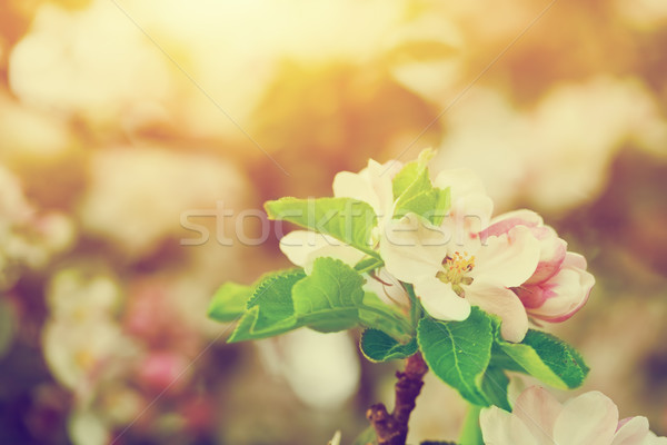 Spring tree flowers blossom, bloom in warm sun. Vintage  Stock photo © photocreo